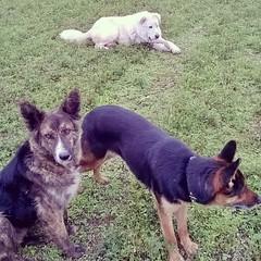 I guardiani del #gregge #pecore #ovini #navelli #laquila #abruzzo #itali