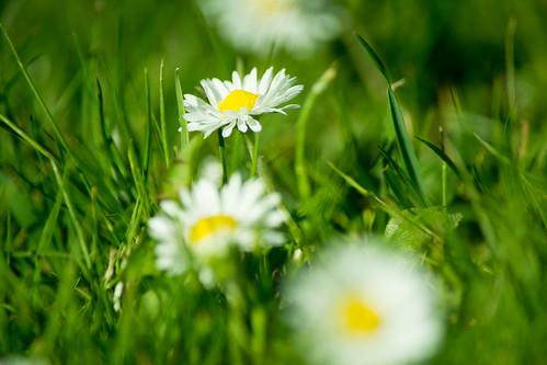 20150426-30_Daisy Flowers_Cawston Rugby Warwickshire