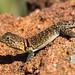 Imm. Collared Lizard