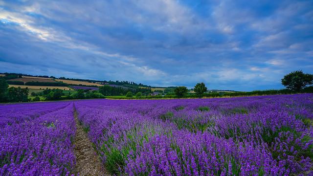 Sea of purple