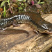 Desmognathus cf. fuscus: Northern Dusky Salamander by Todd W Pierson