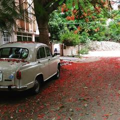 Red carpet #flowers #red #india #bangalore #ambassador #summer #tree