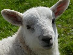 Spring Lamb #lambs