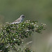 Barred Warbler /Höksångare (Sylvia nisoria)