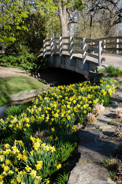 Daffodils and Bridge