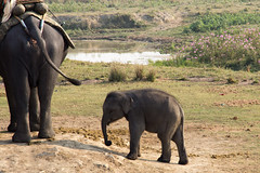 animal, indian elephant, elephant, elephants and mammoths, african elephant, fauna, safari,