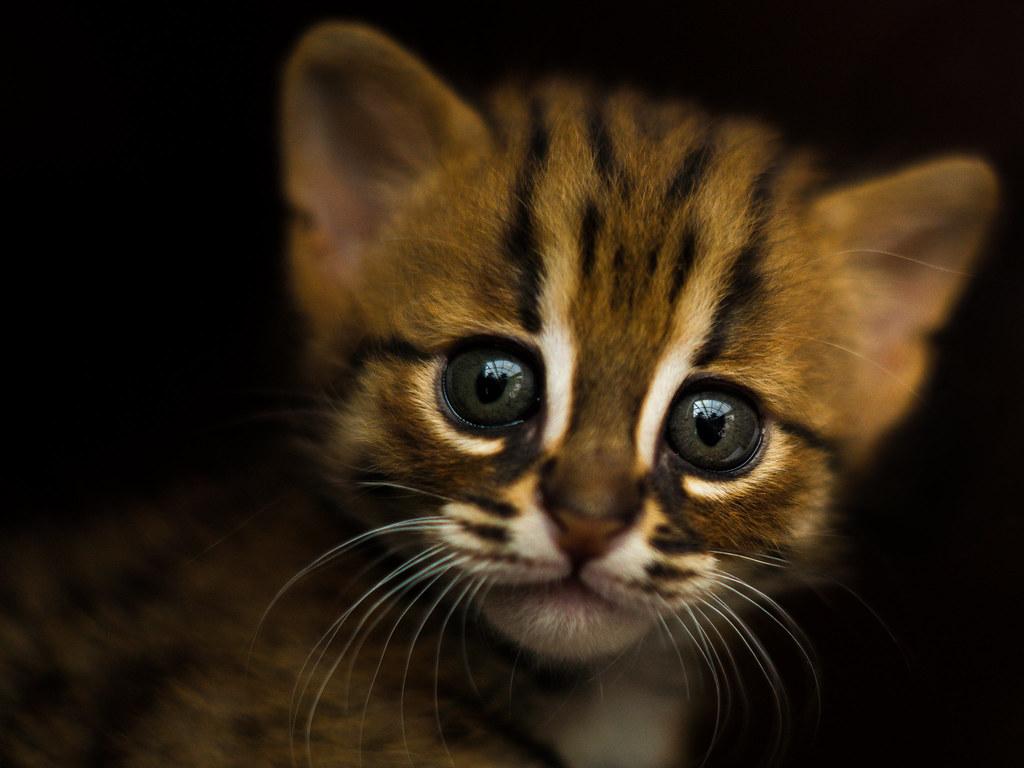 Rusty-spotted kitten portrait