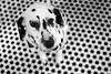 #dalmationfloor Dalmatian #b&w #bnw #davidzimand #photography #dog #photography #bw #bwphotography #zeiss #planar #zeisslens