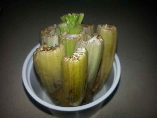 celery growth 2