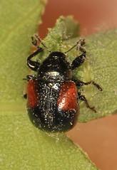 fly(0.0), arthropod(1.0), scarabs(1.0), animal(1.0), invertebrate(1.0), insect(1.0), macro photography(1.0), fauna(1.0), close-up(1.0), beetle(1.0),