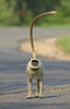 Common Langur