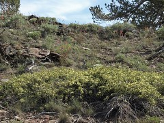 mountain bitterbrush, Purshia tridentata, unnamed high-elevation variant