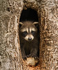 Baby Raccoon by PrettyCranium