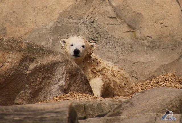 Eisbär Lili im Zoo am Meer Bremerhaven 14.05.2016 Teil 1 061