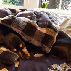 Some of us thinks it's the weekend already #dachshunds #dogsofinstagram #dachshundoftheday