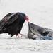 Turkey Vulture feeding on Sea Lion by Garrett Lau