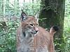 Lynx - Parc animalier de Sainte-Croix - Juillet 2016 (7)
