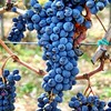 Grapes ready It's harvest Time in #tuscany #grapeharvest #grapeharvest2016 #chianti #chianticlassico #wine #winelovers #tuscanycountryside #toscanamiasisters #tuscanywine