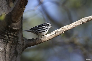 """Black -and-white Warbler"" ""Mniotilta varia"""