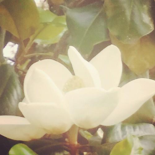 #magnolia #tree #spring #Alabama