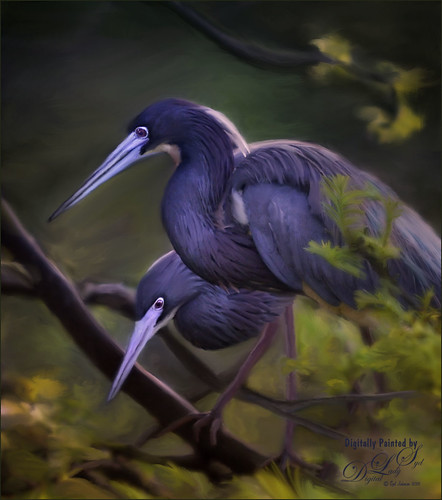 Image of two painted Blue Herons