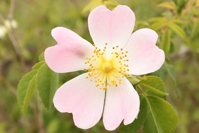 Rosa canina (groupe) - églantier, rosier des chiens  26448812443_5ebc741120_z