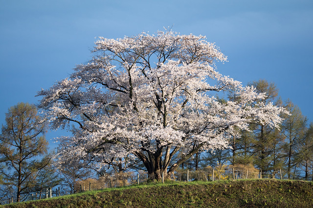 The Great Inai Cherry Tree