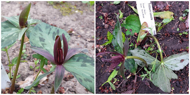 two trillium sessile - standing upright, then bent
