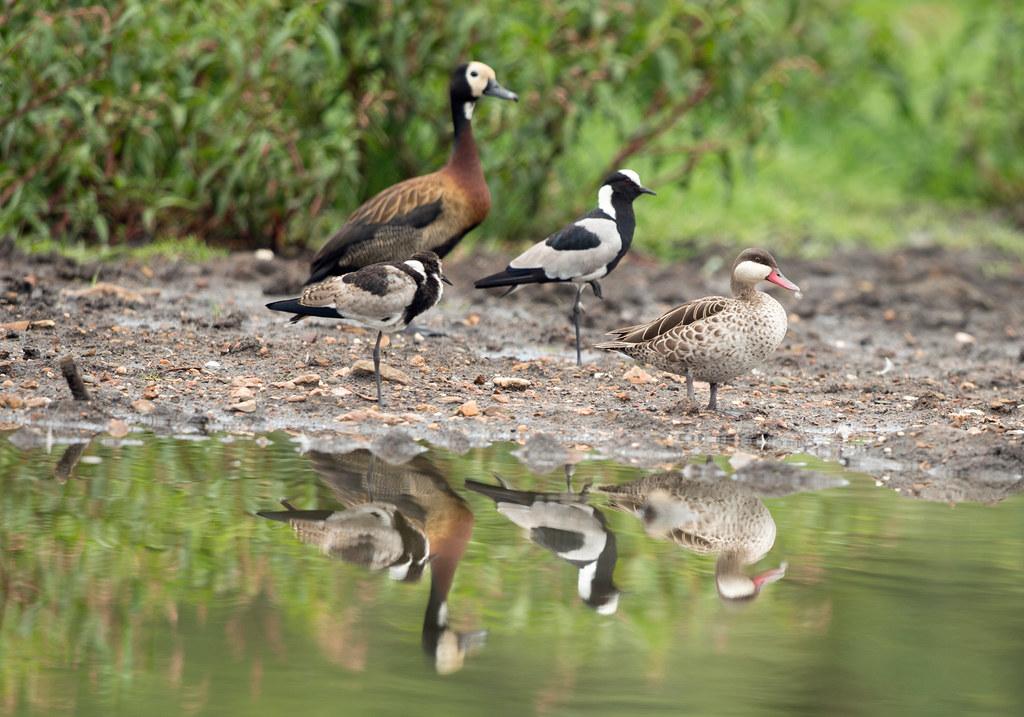 whistling duck farm rachael edwards