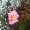 Rose garden finally starting to bloom.