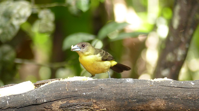 Rusty-margined Flycatcher - Myiozetetes cayanensis