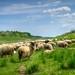 Herd of sheep grazing by malioli