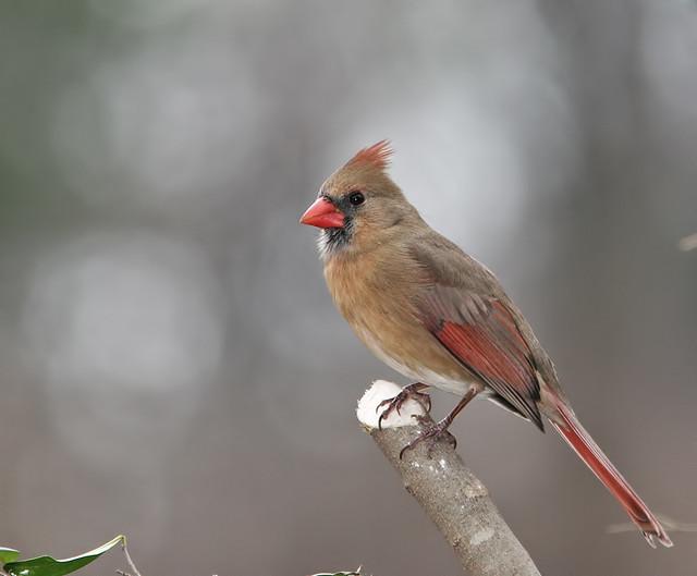 Cardinal 20d_8898