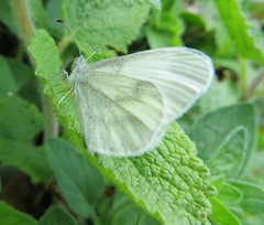 arthropod, annual plant, animal, moths and butterflies, butterfly, leaf, invertebrate, macro photography, green, fauna, cabbage butterfly, close-up, bombycidae, pieridae,