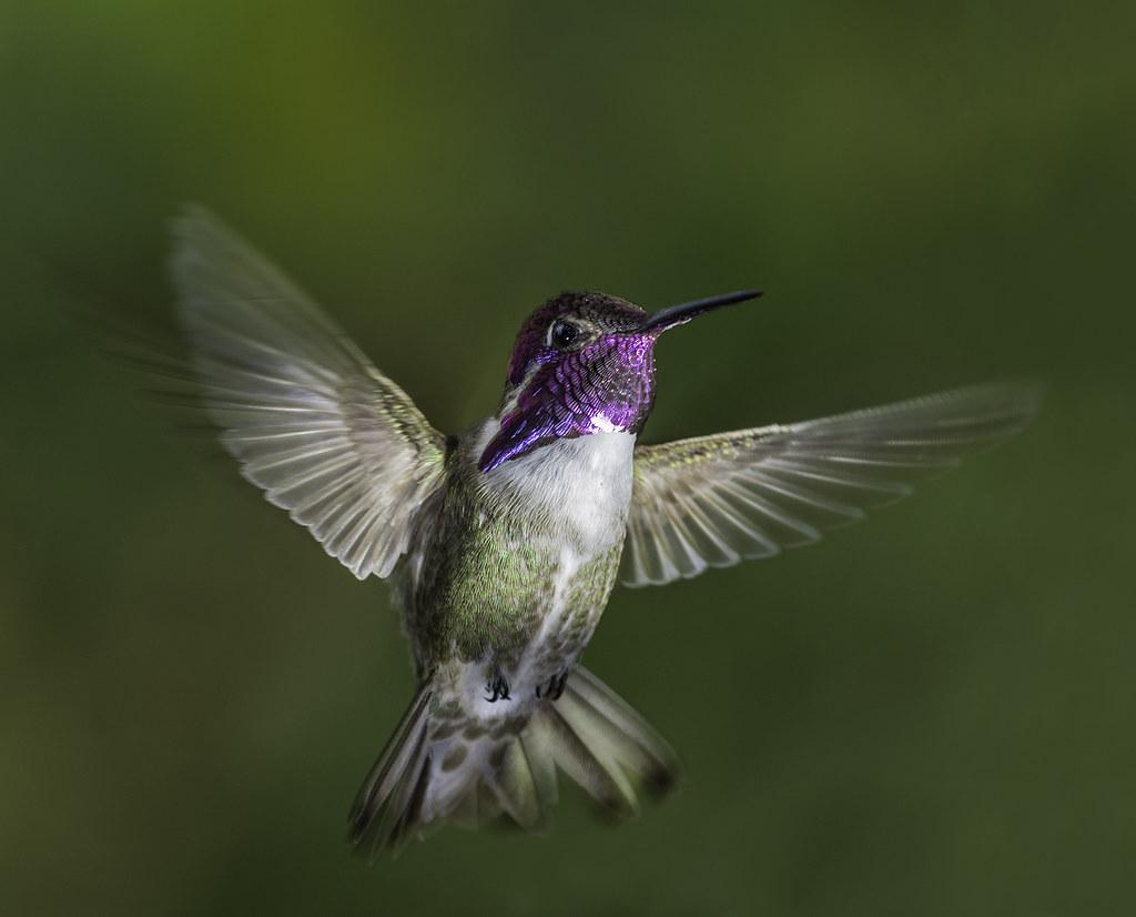 Costa's Hummingbird In The Light