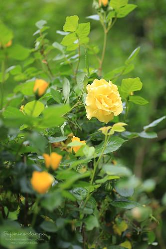 薔薇 20150506-IMG_2111