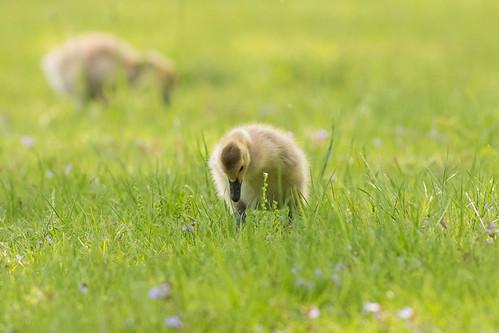 grass spring goslings canadagoose fabyanforestpreserve
