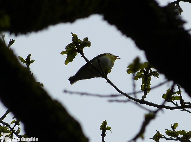 P1120645 - Wood Warbler, Gwenffrwd-Dinas