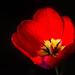 red tulip by MalNino