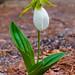 Cypripedium Acaule by swingaweigh