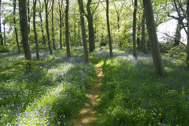Bluebell wood at Osborne House