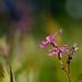 Silène fleur de coucou  /  Ragged robin
