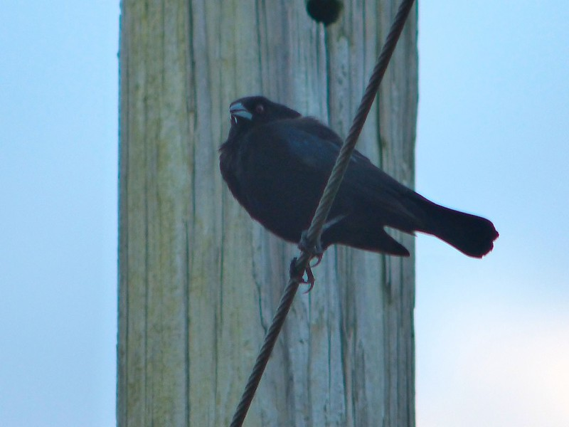 Bronzed Cowbird (Ansley, Hancock Co, MS, 4/29/15)