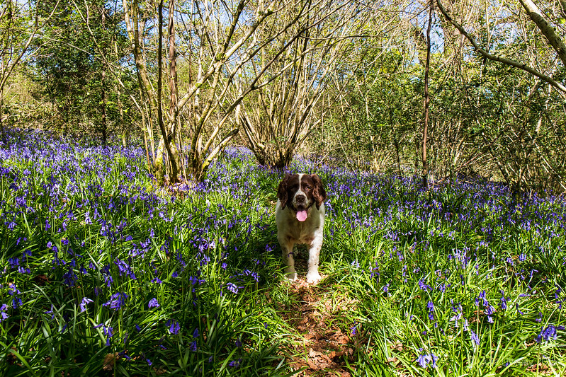 Max in the bluebells