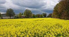the rape blossoms @ a nice first of May