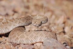 boas(0.0), eastern diamondback rattlesnake(0.0), boa constrictor(0.0), hognose snake(0.0), garter snake(0.0), sidewinder(0.0), lacertidae(0.0), agamidae(0.0), animal(1.0), serpent(1.0), snake(1.0), reptile(1.0), fauna(1.0), viper(1.0), close-up(1.0), rattlesnake(1.0), scaled reptile(1.0), wildlife(1.0),