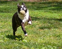 animal(1.0), dog(1.0), old english bulldog(1.0), pet(1.0), olde english bulldogge(1.0), american pit bull terrier(1.0), american bulldog(1.0), boston terrier(1.0), carnivoran(1.0), bulldog(1.0), terrier(1.0),