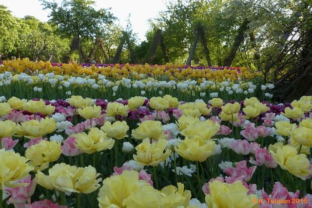 Britzer Garten Tulipan 06.05.2015  75