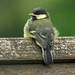 Great Tit (chick) by tjop81