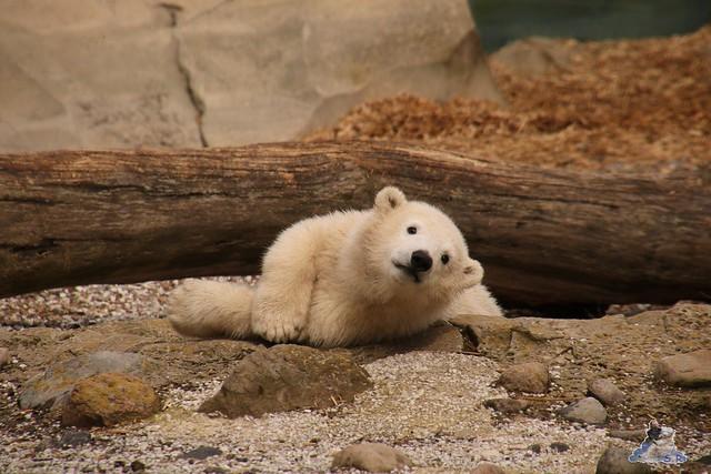 Eisbär Lili im Zoo Bremerhaven 30.04.2016 Tei 1  51